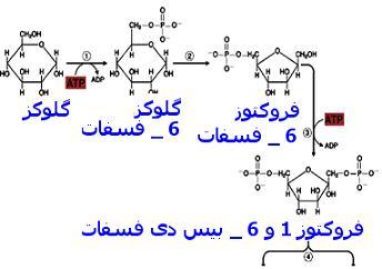 http://daneshnameh.roshd.ir/mavara/img/daneshnameh_up/2/21/glycolise1.JPG