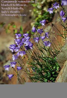 campanulaceae1.JPG