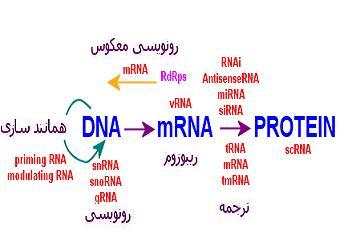 img/daneshnameh_up/6/6c/RNA.2.png
