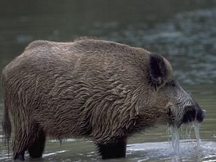 گوشت گراز حرام است؟