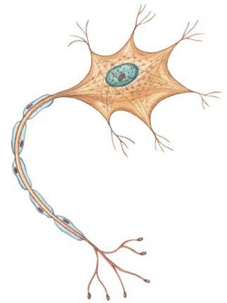 img/daneshnameh_up/a/aa/nerve_cell.jpg