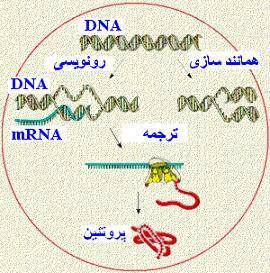 جزوه ی زیست سال چهارم فصل پروتئین سازی