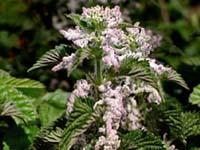urticaceae1.JPG
