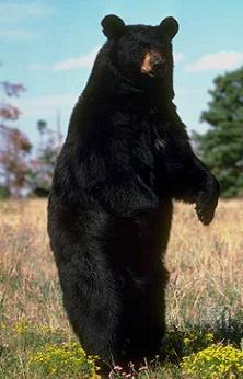 خرس سیاه : Black bear