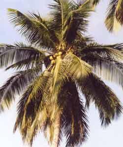 img/daneshnameh_up/d/d6/Coconut2.jpg
