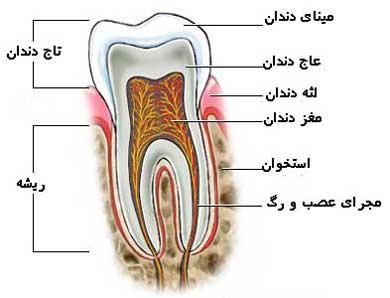 img/daneshnameh_up/d/d8/tooth2.jpg
